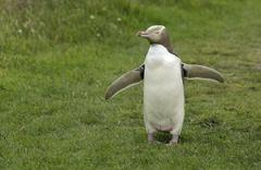 Yellow eyed Penguin or Hoiho Megadyptes antipodes with a tag on its Stock Photos