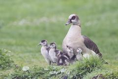 Adult Egyptian Goose Alopochen aegyptiacus with chicks North Hesse Hesse Stock Photos