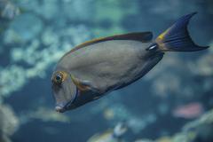 Eyestripe Surgeonfish Acanthurus dussumieri - stock photo
