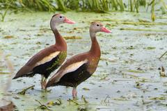 a pair of black-bellied whistling ducks (dendrocygna autumnalis) in a swamp c - stock photo