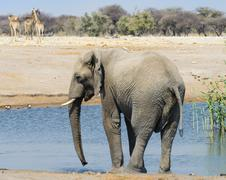 African Elephant Loxodonta africana standing in the water at the Chudop Stock Photos