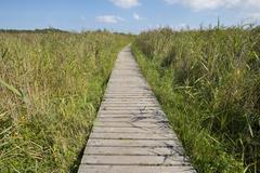 Boardwalk through reed Phragmites australis Darss Western Pomerania Lagoon Area - stock photo
