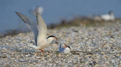 Common Tern Sterna hirundo male handing over a bridal gift to a female breeding - stock photo