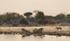 Pride of lions Panthera leo drinking at the Klein Namutoni waterhole Etosha Stock Photos