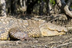 Stock Photo of Nile Crocodile Crocodylus niloticus iSimangaliso Wetland Park St Lucia Estuary