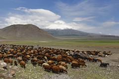 Flock of sheep in front of Mount Ararat Buyuk Agri Dagi Dogubayazit Stock Photos