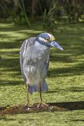 yellow-crowned night heron (nyctanassa violacea) in a swamp. brazos bend stat - stock photo