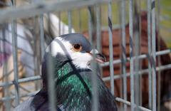 Pigeon farmed in captivity for the competition Stock Photos