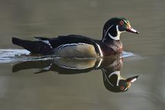 Wood Duck Aix sponsa escaped animal Saxony Germany Europe - stock photo