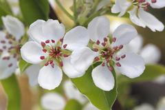 Williams Christ cultivar of the Common Pear Pyrus communis blossoms North Stock Photos