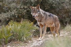 Iberian Wolf Canis lupus lupus Antequera Spain Europe - stock photo