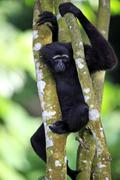 Black handed Gibbon or Agile Gibbon Hylobates agilis adult on tree Singapore - stock photo