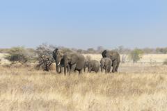 African elephants Loxodonta africana herd moving through dry grass Etosha Stock Photos