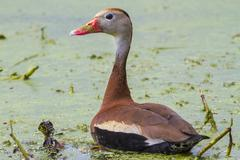 black-bellied whistling duck (dendrocygna autumnalis) in a swamp covered with - stock photo
