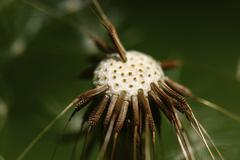 Common Dandelion Taraxacum officinale blowball head with individual seeds Kuvituskuvat