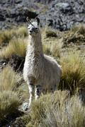 Llama Lama glama standing in the Andean Highlands Altiplano Department of La - stock photo
