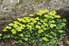 Stock Photo of Alternate leaved golden saxifrage Chrysosplenium alternifolium Bavarian Forest