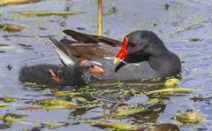common moorhen (gallinula chloropus) feeding a chick, brazos bend state park, - stock photo