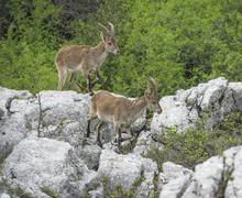 Spanish Ibexes Capra pyrenaica hispanica Antequera Andalusia Spain Europe - stock photo
