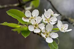 Blossoms of a Stuttgart Gaishirtl or Geishirtle Pear Tree Pyrus communis - stock photo