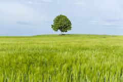 Solitary Lime tree Tilia spp and wooden bench at a barley field Bavaria Germany Stock Photos