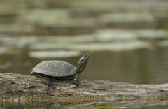 European Pond Turtle Emys orbicularis Lobau Danube Auen National Park Lower Stock Photos