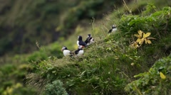 Several puffins sitting on a cliff, Vík í Mýrdal, South Iceland Stock Footage