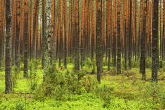 Stock Photo of Scots Pines Pinus sylvestris in a dense pine forest Biebrza National Park