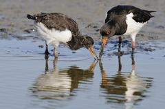 Oystercatchers Haematopus ostralegus adult and young bird foraging for food - stock photo