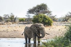 African Elephant Loxodonta africana drinking in the water Etosha National Park Stock Photos