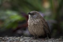 Arrow marked Babbler Turdoides jardineii Berlin Germany Europe Stock Photos