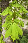 Horse chestnut Aesculus hippocastanum young leaves Bavaria Germany Europe Stock Photos