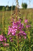 Wild flower of willow-herb in the evening field Kuvituskuvat