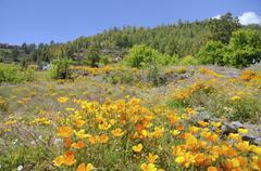 Stock Photo of California Poppies or Golden Poppies Eschscholtzia california on a uncultivated