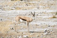 Springbok Antidorcas marsupialis Etosha National Park Namibia Africa Stock Photos
