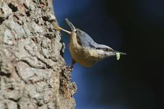 Eurasian Nuthatch Sitta europaea perched on an oak tree with caterpillar North - stock photo