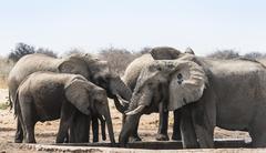 Herd of African Bush Elephants Loxodonta africana drinking at Tsumcor Waterhole Stock Photos