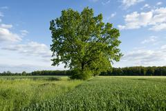 Solitary Pedunculate Oak Quercus robur in a field Lower Saxony Germany Europe - stock photo
