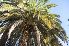 Palm tree Arecaceae La Palma Canary Islands Spain Europe - stock photo