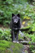 Stock Photo of Eastern Wolf Canis lupus lycaon adult captive Eifel Germany Europe