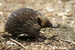 Short beaked Echidna Tachyglossus aculeatus adult foraging for food South Stock Photos
