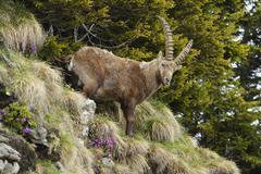 Stock Photo of Alpine Ibex Capra ibex standing in steep terrain Bernese Oberland Switzerland