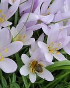 autumn crocus also known as meadow saffron or naked lady (colchicum autumnale - stock photo