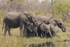 Elephants (loxodonta africana), mudumu national park, namibia Stock Photos