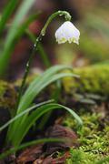 spring snowflake (leucojum vernum) wutachschlucht, black forest, baden-wuertt - stock photo