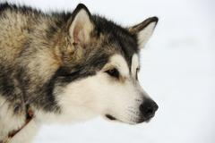 Alaskan malamute, portrait Stock Photos