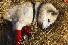Resting sled dog wrist bandages Alaskan Husky straw Pelly Crossing checkpoint Stock Photos