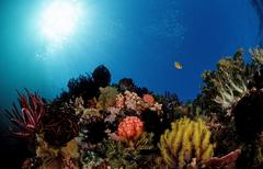 coral reef with colourful sea lilies or feather-stars, komodo, indo-pacific,  - stock photo
