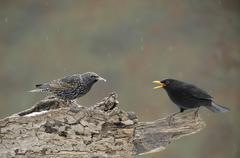 Blackbird (turdus merula) threatening european starling (sturnus vulgaris) Stock Photos