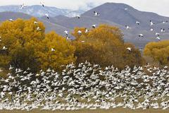 Snow geese (anser caerulescens atlanticus, chen caerulescens) overwintering,  Stock Photos